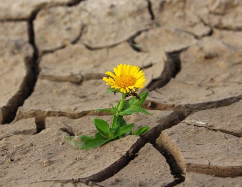 dandilion growing out of parched ground
