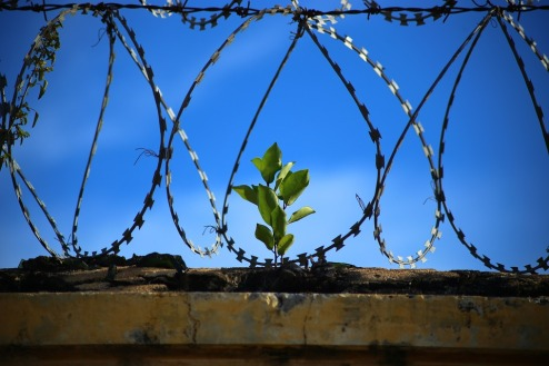a plant surviving behind barbed wire