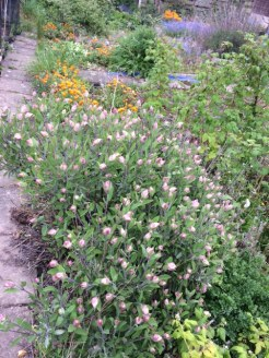 allotment with flowerong sage