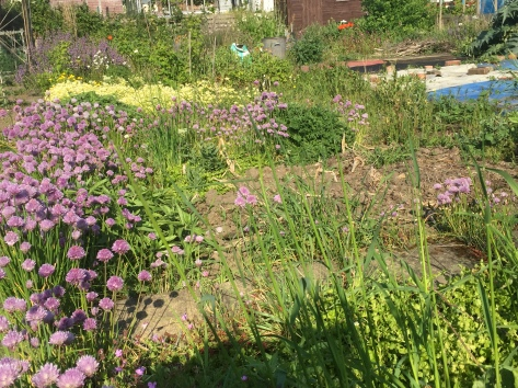 allotment full of chives and weeds