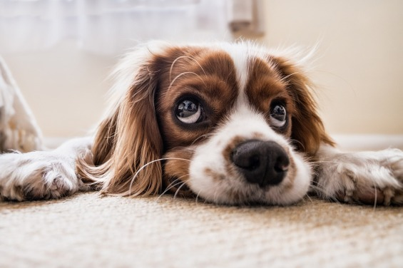 spaniel puppy lying down with big sad eyes