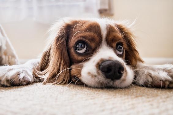 spaniel puppy lying down with big sad eyes